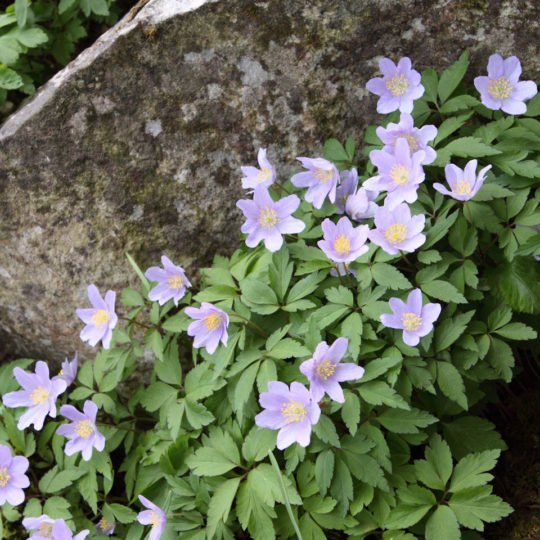 Anemone nemorosa Robinsoniana lilac wood anemone flower on a rock garden. Image shot 04/2010. Exact date unknown.