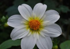 Dahlia Twining's White Chocolate
