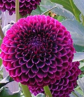 Dahlia Downham Royal