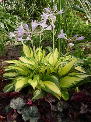 Hosta Morning Light