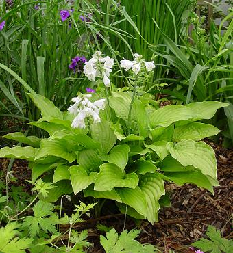 Hosta Royal Standard (Scented)