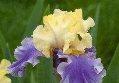 Iris Germanica, Edith Wolford