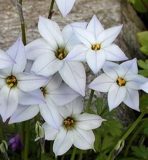 Ipheion White Star