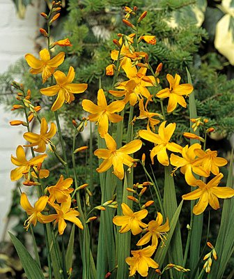 Crocosmia Yellow Emberglow