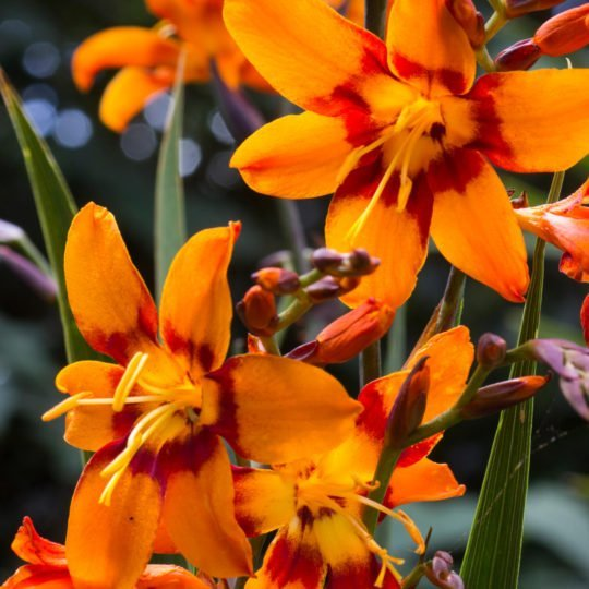 August blooms of the large flowered Crocosmia 'Emily McKenzie'