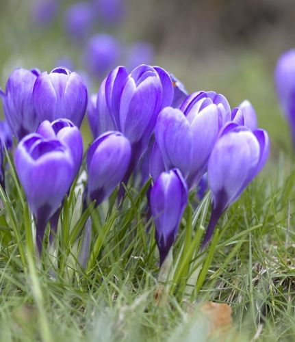 Crocus Grand Maitre