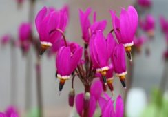 Dodecatheon Pulchellum Red Wings