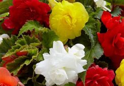 Begonia Double Mix, 5 Colours