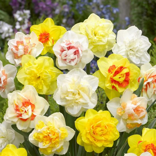 double narcissus mix