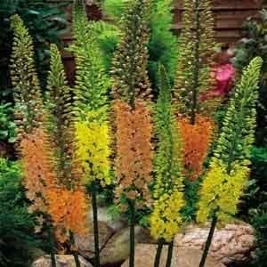 Eremurus Collection