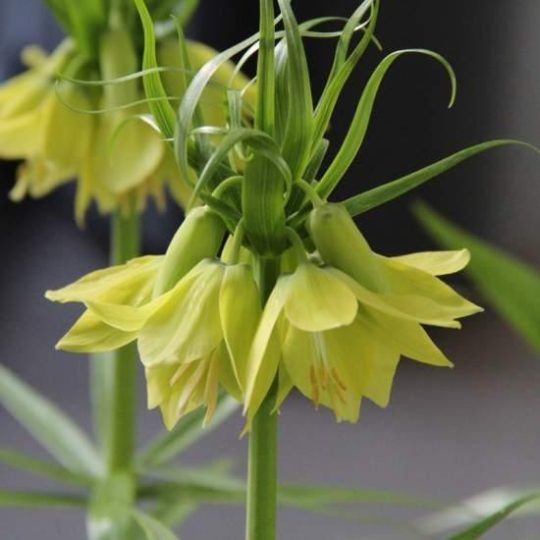 Fritillaria Early Passion