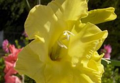 Gladioli Morning Gold