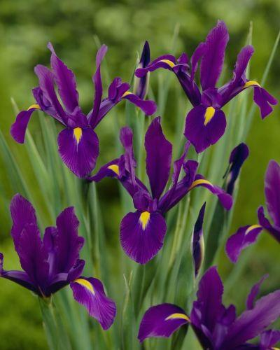 Iris Purple Sensation