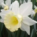 Narcissus February Silver