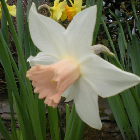 Narcissus Pink Smile