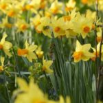 Narcissus Jet Fire