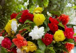 Begonia Cascade Mix, 5 Colours